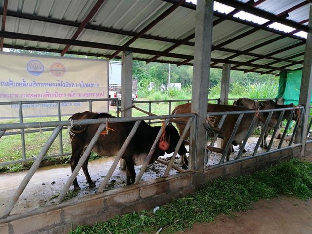 คณะเกษตรศาสตร์และทรัพยากรธรรมชาติ,ม.พะเยา,มอบโค-กระบือให้เกษตรกรยืมเลี้ยงเพื่อการผลิต,โครงการธนาคารโค-กระบือเพื่อเกษตรกร,ตามพระราชดำริ,จำนวน,4,ตัว