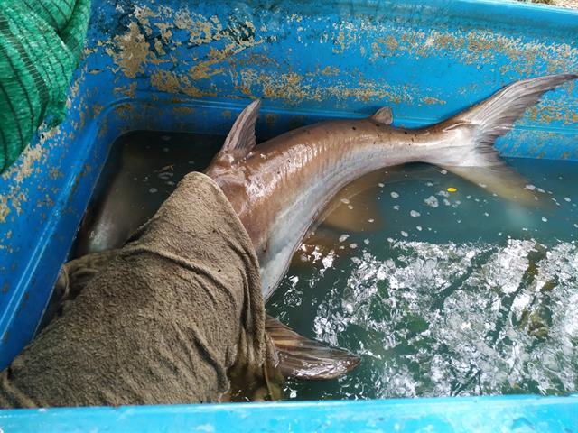 นิสิตการประมง คณะเกษตรศาสตร์ฯ ดำเนินกิจกรรมขนย้ายปลาบึก (Mekong Giant Catfish) และปลาเทพา (Chao Phraya Giant Catfish)